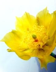 catcus flower 2 001p